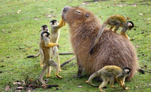 capybara and monkeys hehe
